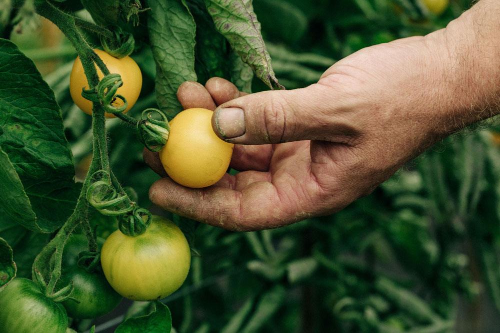 Plukken van gele tomaten